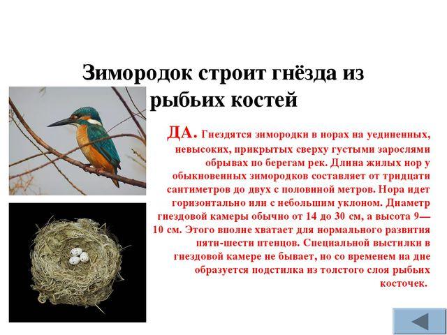 Зимородок строит гнёзда из рыбьих костей ДА. Гнездятся зимородки в норах на у...