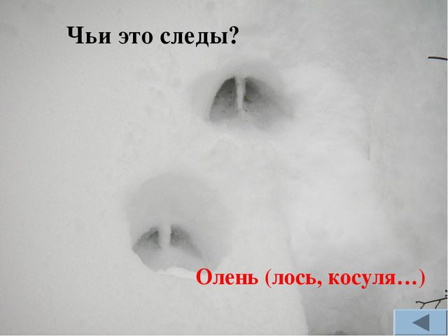 Олень (лось, косуля…) Чьи это следы?