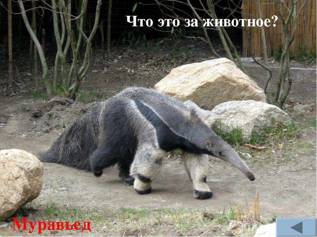 Что это за животное? Муравьед