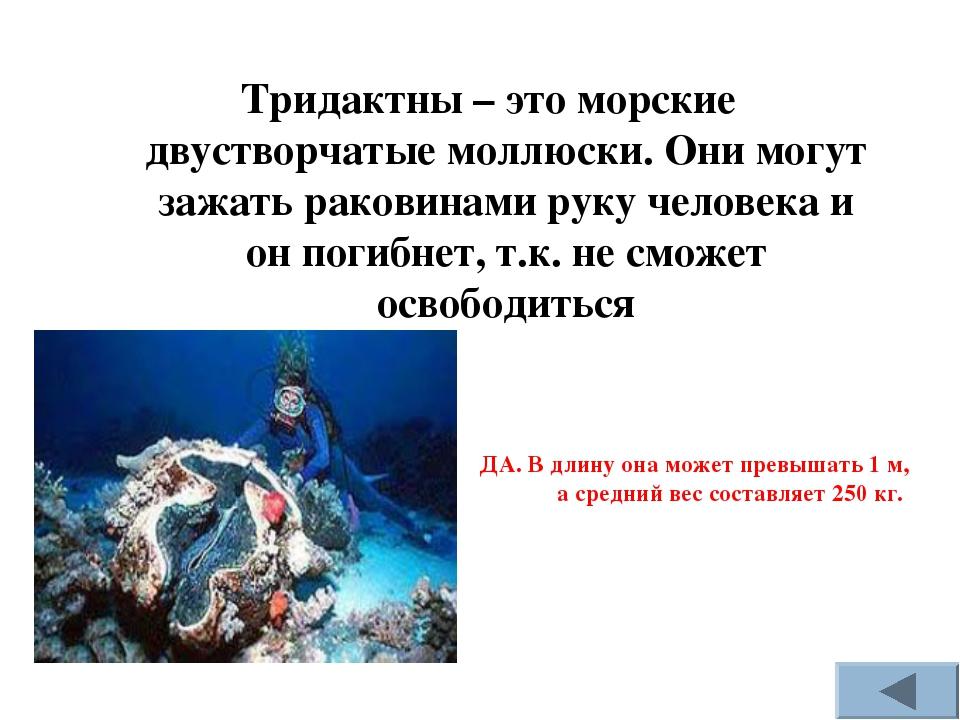 Тридактны – это морские двустворчатые моллюски. Они могут зажать раковинами р...