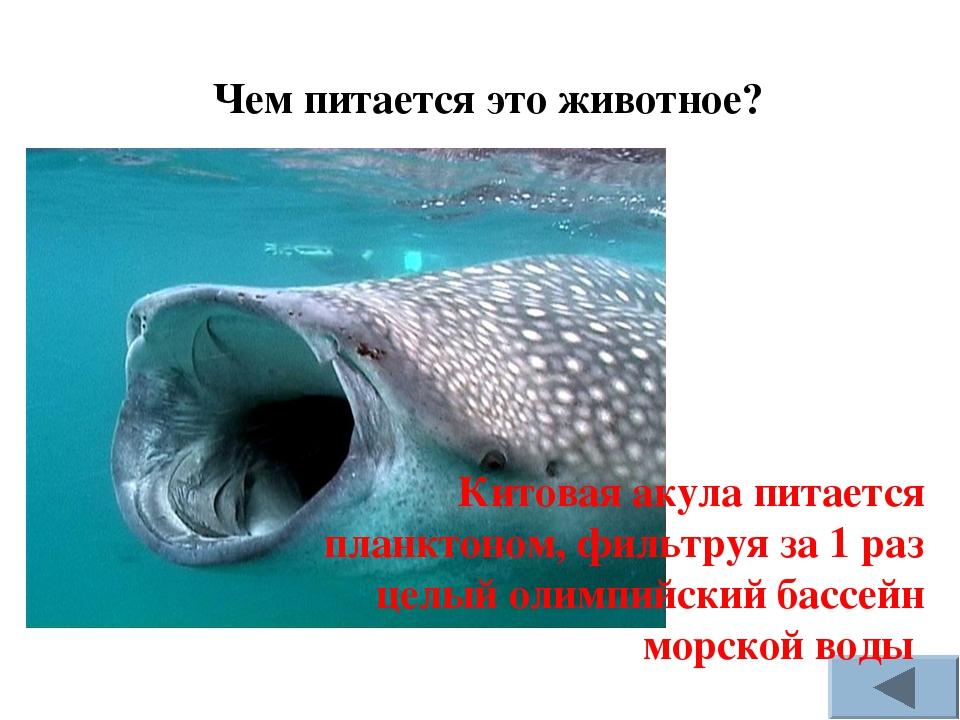 Чем питается это животное? Китовая акула питается планктоном, фильтруя за 1 р...