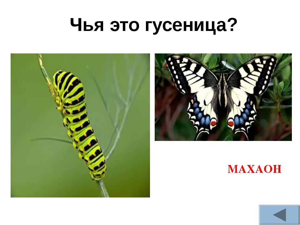 Чья это гусеница? МАХАОН