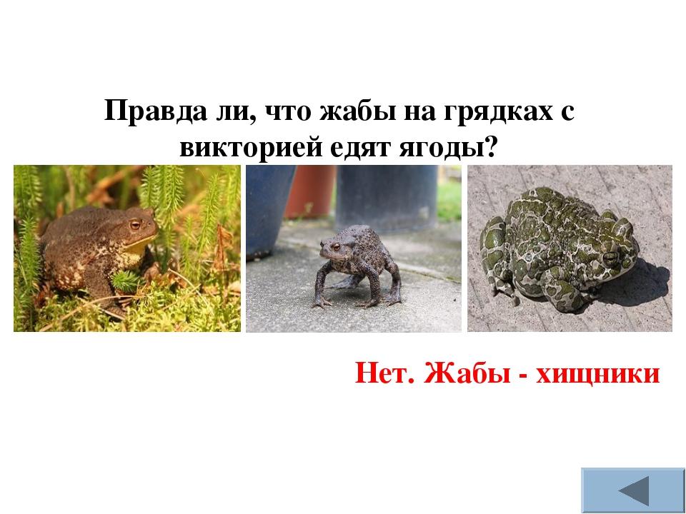 Правда ли, что жабы на грядках с викторией едят ягоды? Нет. Жабы - хищники