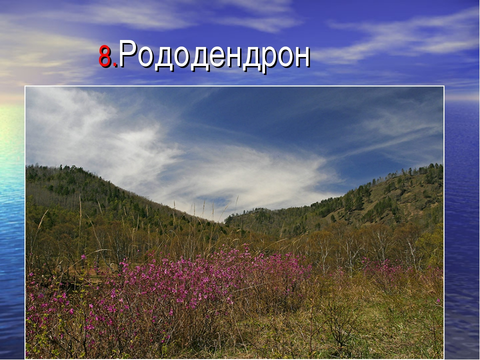 8.Рододендрон