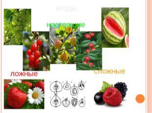 ягоды настоящие ложные сложные