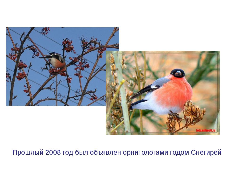 Прошлый 2008 год был объявлен орнитологами годом Снегирей
