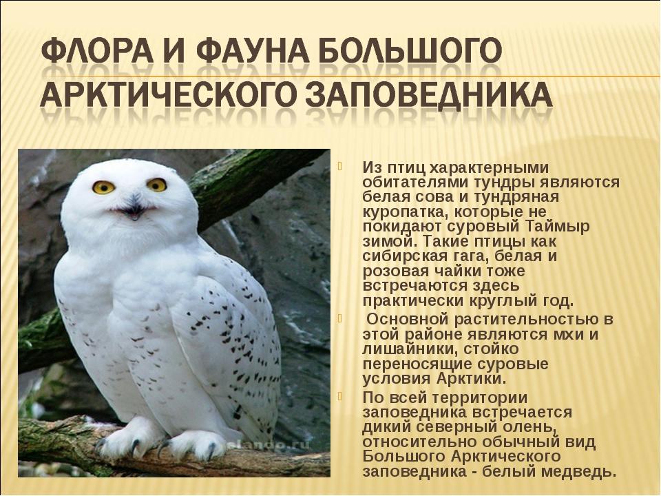 Из птиц характерными обитателями тундры являются белая сова и тундряная куроп...