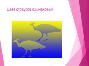 Цвет страусов одинаковый