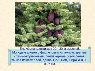 Ель чёрная достигает 20 - 30 м высотой. Молодые шишки с фиолетовым оттенком,