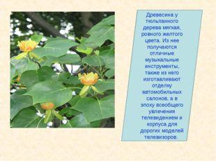Древесина у тюльпанного дерева мягкая, ровного желтого цвета. Из нее получают