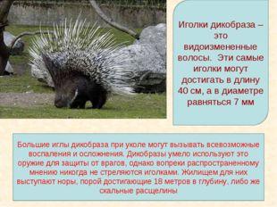 Иголки дикобраза – это видоизмененные волосы. Эти самые иголки могут достигат