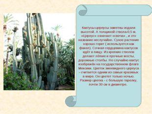 Кактусы-цереусы заметны издали высотой. А толщиной ствола-0,5 м. «Цереус» озн