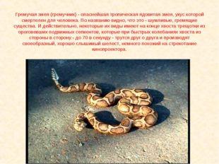 Гремучая змея (гремучник) - опаснейшая тропическая ядовитая змея, укус которо