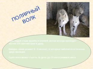 Преследуя стада карибу и оленей, волки иногда проходят более 100 километров в