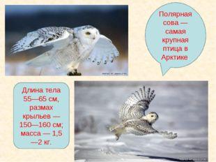 Полярная сова — самая крупная птица в Арктике. Длина тела 55—65 см, размах кр