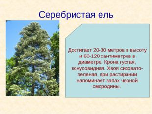 Серебристая ель Достигает 20-30 метров в высоту и 60-120 сантиметров в диамет