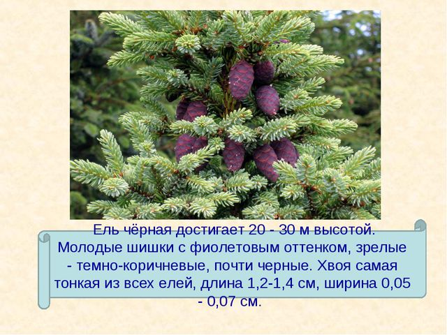 Ель чёрная достигает 20 - 30 м высотой. Молодые шишки с фиолетовым оттенком,...