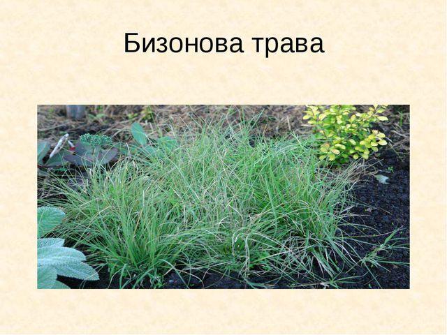 Бизонова трава