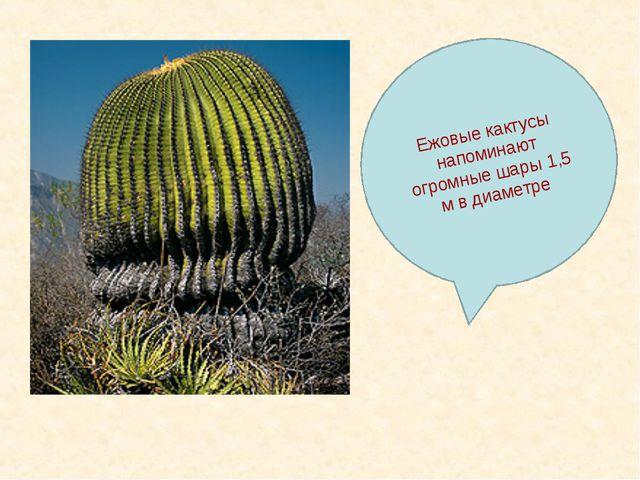 Ежовые кактусы напоминают огромные шары 1,5 м в диаметре