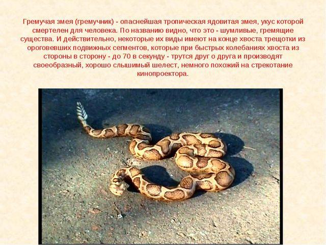 Гремучая змея (гремучник) - опаснейшая тропическая ядовитая змея, укус которо...