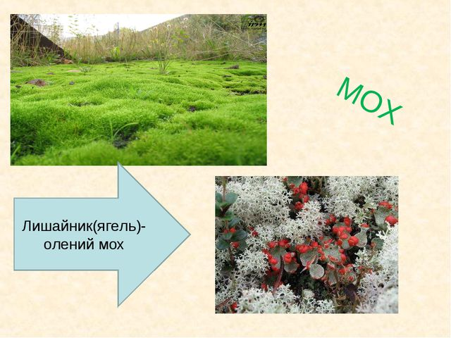МОХ Лишайник(ягель)- олений мох