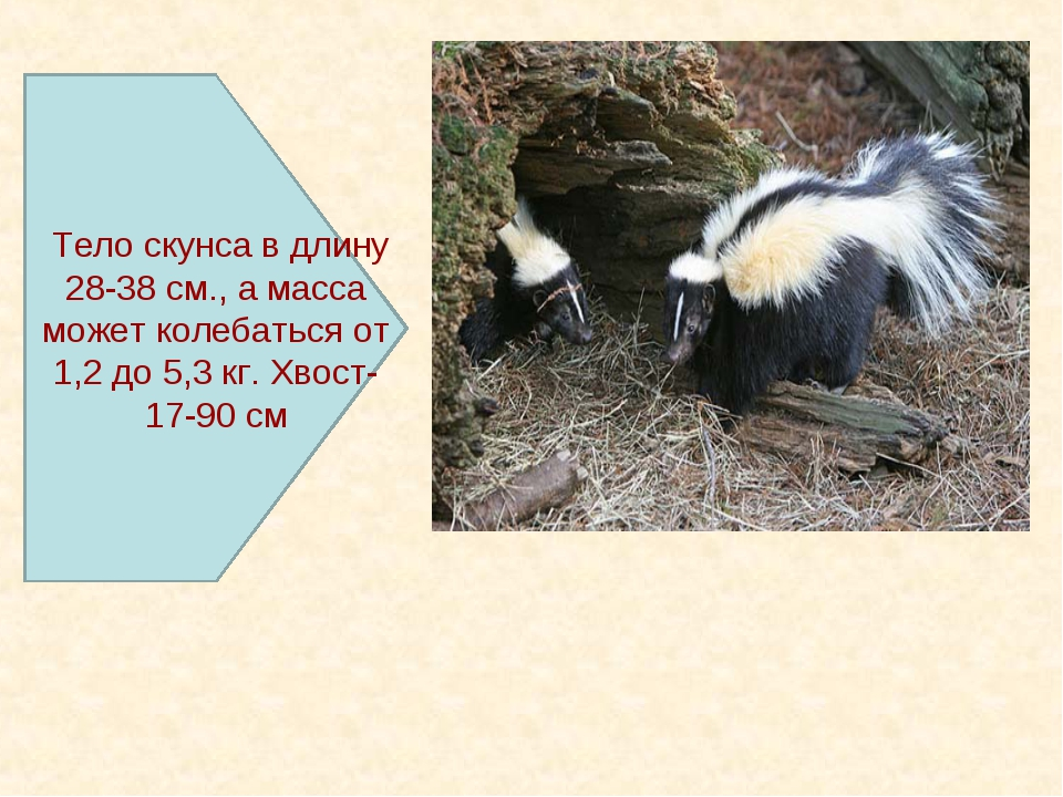 Тело скунса в длину 28-38 см., а масса может колебаться от 1,2 до 5,3 кг. Хв...