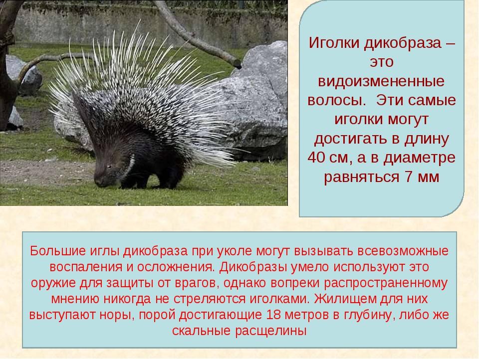 Иголки дикобраза – это видоизмененные волосы. Эти самые иголки могут достигат...