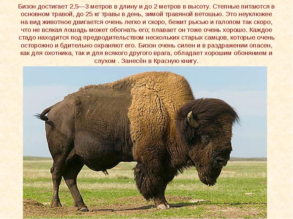 Бизон достигает 2,5—3 метров в длину и до 2 метров в высоту. Степные питаются...