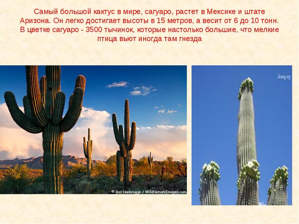 Самый большой кактус в мире, сагуаро, растет в Мексике и штате Аризона. Он ле...