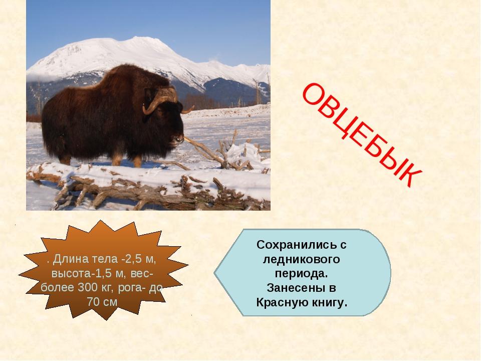 ОВЦЕБЫК Сохранились с ледникового периода. Занесены в Красную книгу.