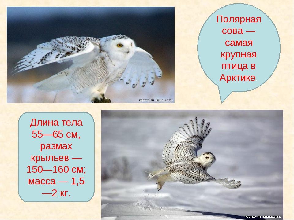 Полярная сова — самая крупная птица в Арктике. Длина тела 55—65 см, размах кр...