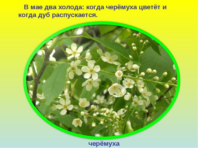 черёмуха В мае два холода: когда черёмуха цветёт и когда дуб распускается.
