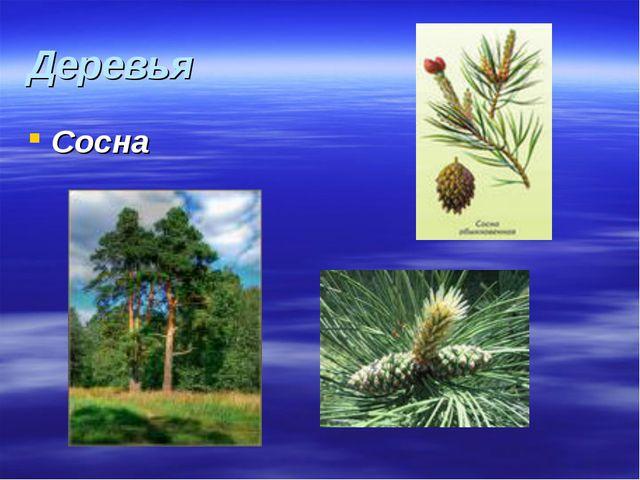 Деревья Сосна