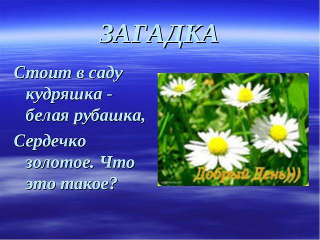 ЗАГАДКА Стоит в саду кудряшка - белая рубашка, Сердечко золотое. Что это такое?