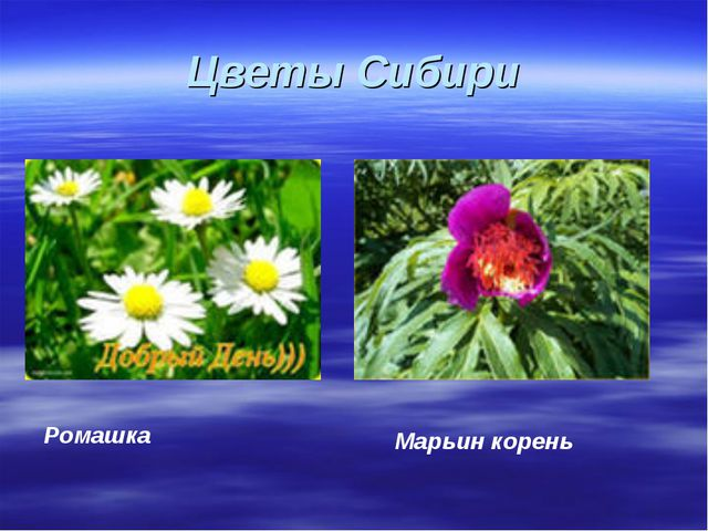 Цветы Сибири Марьин корень Ромашка