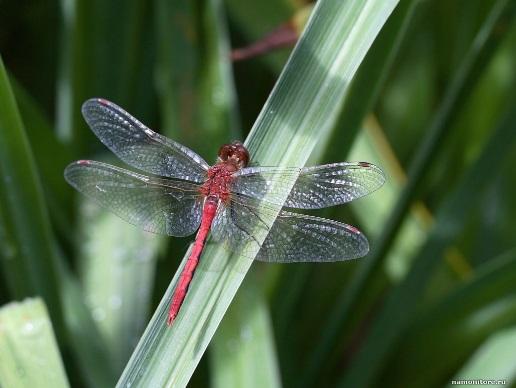 Стрекоза, животные, зеленое, лучшее, насекомые, трава 1600х1200 - Обои для рабочего стола. Wallpapers