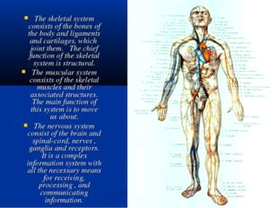 The skeletal system consists of the bones of the body and ligaments and carti