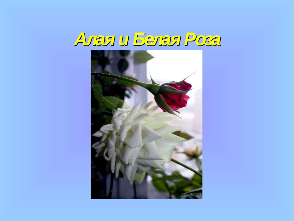 Алая и Белая Роза