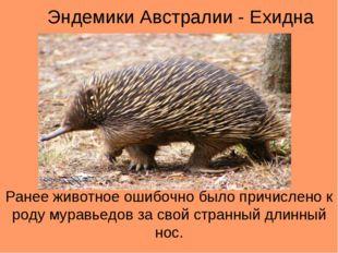 Эндемики Австралии - Ехидна Ранее животное ошибочно было причислено к роду му