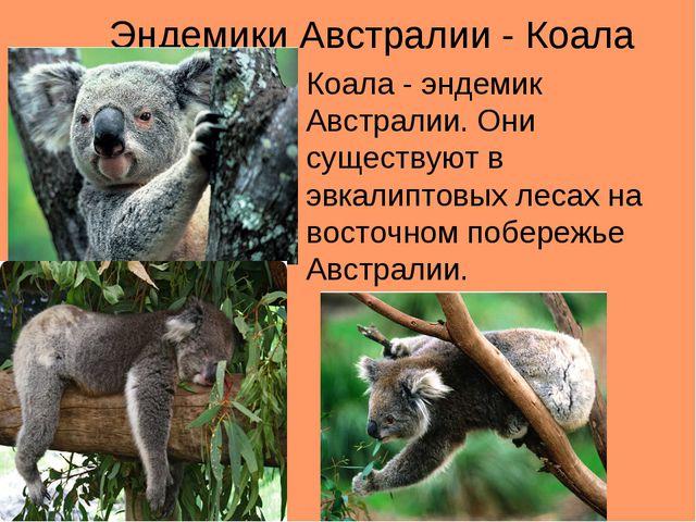 Эндемики Австралии - Коала Коала - эндемик Австралии. Они существуют в эвкали...