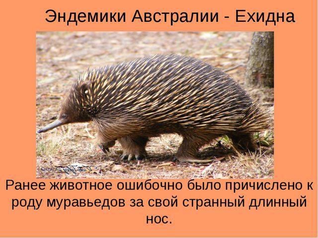 Эндемики Австралии - Ехидна Ранее животное ошибочно было причислено к роду му...