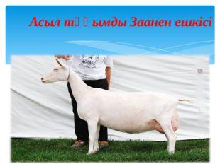Асыл тұқымды Заанен ешкісі