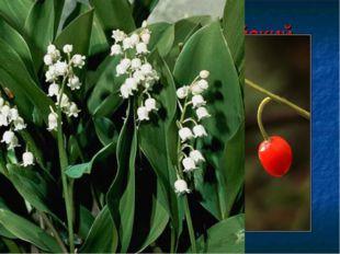 Ландыш майский Многолетнее растение с приятным запахом. Растение ядовито. Отр