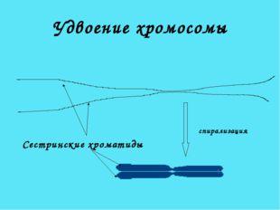 Удвоение хромосомы Сестринские хроматиды спирализация