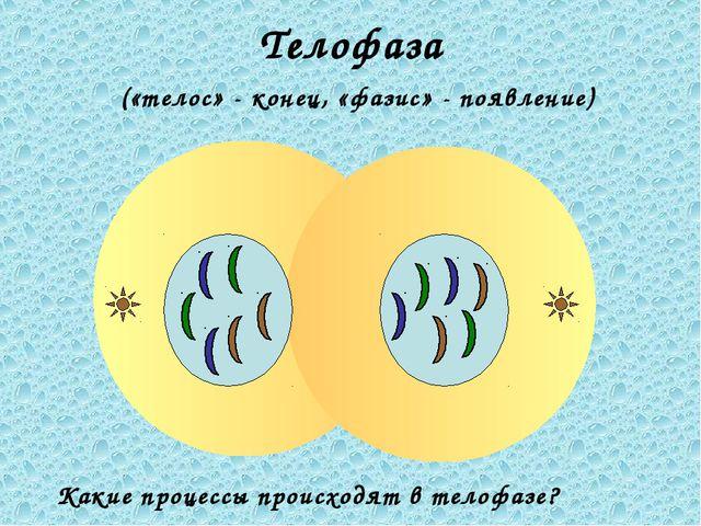 Телофаза («телос» - конец, «фазис» - появление) Какие процессы происходят в т...