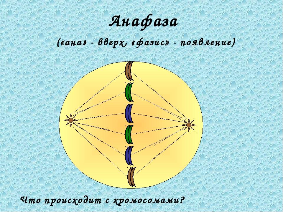 Анафаза («ана» - вверх, «фазис» - появление) Что происходит с хромосомами?