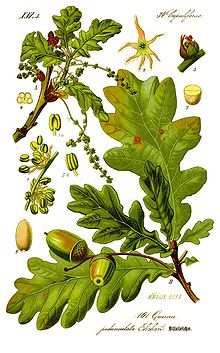 http://upload.wikimedia.org/wikipedia/commons/thumb/7/76/Illustration_Quercus_robur0_clean.jpg/220px-Illustration_Quercus_robur0_clean.jpg
