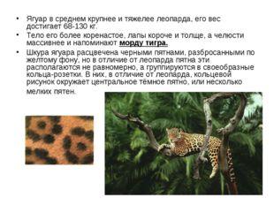 Ягуар в среднем крупнее и тяжелее леопарда, его вес достигает 68-130 кг. Тел
