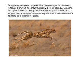 Гепарды — дневные хищники. В отличие от других кошачьих, гепарды охотятся, п