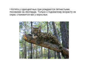 Котята у одноцветных пум рождаются пятнистыми, похожими на леопарда. Только